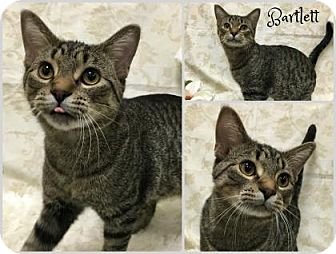 Domestic Shorthair Cat for adoption in Joliet, Illinois - Bartlett