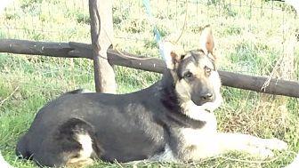 German Shepherd Dog Dog for adoption in Vacaville, California - Barron