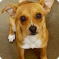 Feist Mix Dog for adoption in Wytheville, Virginia - Joe