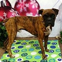 Boxer Dog for adoption in Austin, Texas - Thog