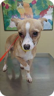 Chihuahua/Rat Terrier Mix Dog for adoption in LAKEWOOD, California - Pancho