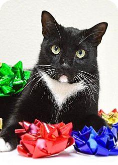Domestic Shorthair Cat for adoption in Dublin, California - Trevor