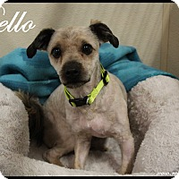 Adopt A Pet :: Bello - Rockwall, TX