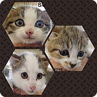 Adopt A Pet :: 8 WEEK KITENS - Ocala, FL