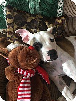 American Staffordshire Terrier/English Bulldog Mix Dog for adoption in Chandler, Arizona - Lucy