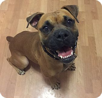 Boxer Mix Dog for adoption in Fort Collins, Colorado - Brie (FORT COLLINS)