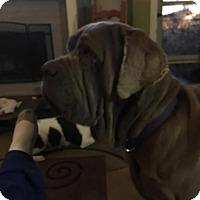 Adopt A Pet :: Lord Sherbear - Killeen, TX