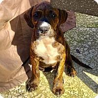 Adopt A Pet :: Bo - Ocala, FL