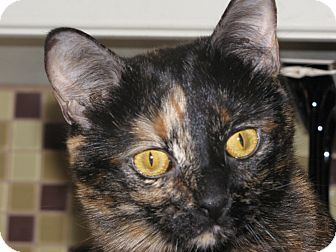 Domestic Shorthair Cat for adoption in Edmond, Oklahoma - Luci