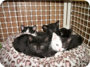 American Shorthair Kitten for adoption in Santa Monica, California - Ember
