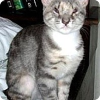 Domestic Shorthair Cat for adoption in Miami, Florida - Fern