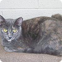 Domestic Shorthair Cat for adoption in Scottsdale, Arizona - Natasha
