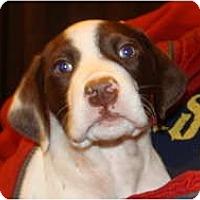 Adopt A Pet :: Scarlet - New Boston, NH