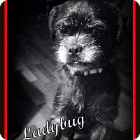Adopt A Pet :: Ladybug ~ Adoption Pending - Youngstown, OH