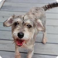 Adopt A Pet :: Shultzi - Smyrna, GA