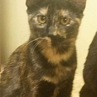 Domestic Mediumhair Cat for adoption in Longview, Texas - Lyndi