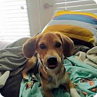Adopt A Pet :: Chewie - Windermere, FL