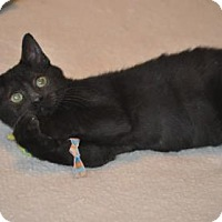 Domestic Mediumhair Kitten for adoption in Santa Fe, Texas - Stormey Night