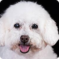 Bichon Frise/Poodle (Miniature) Mix Dog for adoption in Placentia, California - Dillon