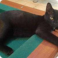 Domestic Shorthair Kitten for adoption in Burlington, North Carolina - DA VINCI
