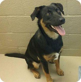 German Shepherd Dog Mix Dog for adoption in Chinook, Montana - Sammie-Adptn Pndg