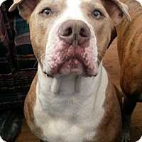 Pit Bull Terrier Mix Dog for adoption in Tucson, Arizona - Kino