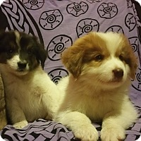Australian Shepherd/Australian Cattle Dog Mix Puppy for adoption in Sandwich, Massachusetts - Neo