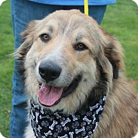Great Pyrenees/Collie Mix Dog for adoption in Garfield Heights, Ohio - Austin-PENDING