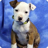 Adopt A Pet :: HANNAH - Westminster, CO