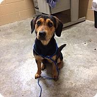 Adopt A Pet :: Harlow - Newport, KY