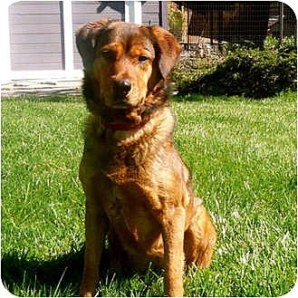 Shepherd (Unknown Type) Mix Dog for adoption in Petaluma, California - Ginger
