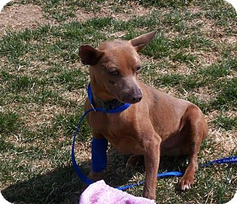 Miniature Pinscher Mix Dog for adoption in Meridian, Idaho - Rufus