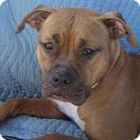 Adopt A Pet :: Biscuit - Santa Monica, CA