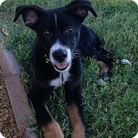 Adopt A Pet :: Bailey - Las Vegas, NV