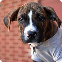 Adopt A Pet :: Hudson - Detroit, MI
