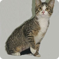 Domestic Shorthair Cat for adoption in Hawk Point, Missouri - Cassie