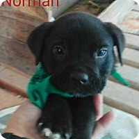 Adopt A Pet :: Norman - Buffalo, NY
