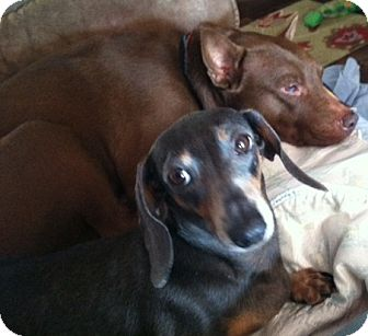 Dachshund Dog for adoption in Dripping Springs, Texas - Jetty