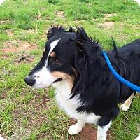 Border Collie Mix Dog for adoption in Allen, Texas - Maverick