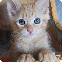 Adopt A Pet :: Ginger - Colorado Springs, CO