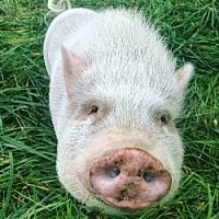 Pig (Potbellied) for adoption in Bruce Township, Michigan - Arnold