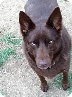 Australian Kelpie Mix Dog for adoption in Riverside, California - DORA