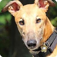 Greyhound Dog for adoption in Nashville, Tennessee - Rock