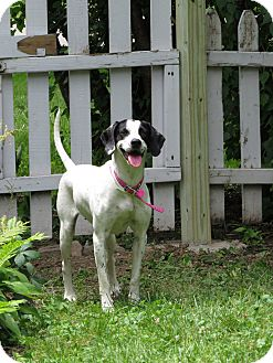 English Pointer/Pointer Mix Dog for adoption in Wood Dale, Illinois - Monica- Foster to Adopt