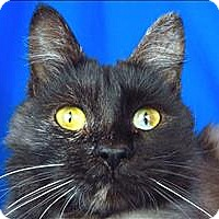 Adopt A Pet :: Godiva - Sherwood, OR