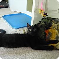 Domestic Shorthair Kitten for adoption in Lindsay, Ontario - Jill