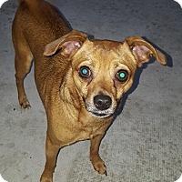 Adopt A Pet :: Shy - Seminole, FL