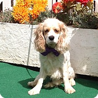 Cocker Spaniel Dog for adoption in Santa Barbara, California - Chester
