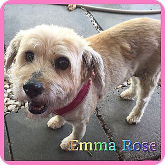 Wheaten Terrier Mix Dog for adoption in Hollywood, Florida - Emma Rose