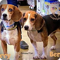 Beagle Mix Dog for adoption in Newport, Kentucky - Ben (bonded with Jerry)